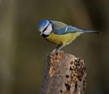 Blue Tit by biffobear, photography->birds gallery
