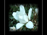 Magnolia By Moonlight by LynEve, Photography->Flowers gallery