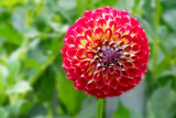 Dahlia from August by Ramad, photography->flowers gallery