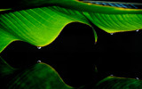 Banana Leaf by Pixleslie, Photography->Nature gallery