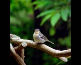 Plump chaffinch by ppigeon, Photography->Birds gallery