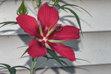 Hibiscus by gharwood, photography->flowers gallery