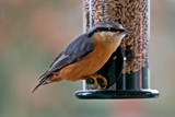 Nuthatch (6) by Ramad, photography->birds gallery
