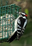 Backyard Visitor by tigger3, photography->birds gallery