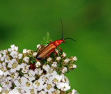 Soldier beetle by biffobear, photography->insects/spiders gallery
