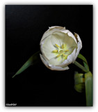 Tulip on Black by ccmerino, Photography->Flowers gallery