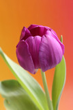 Tulip in Blooom by jerseygurl, photography->flowers gallery