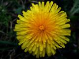 Dent de Lion by braces, Photography->Flowers gallery