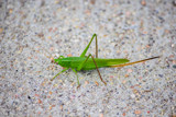 Katydid by Pistos, photography->insects/spiders gallery