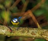 Bluey by biffobear, photography->birds gallery