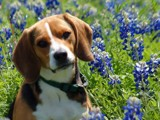 Beagle or Bluebonnets by drgibson, Photography->Pets gallery