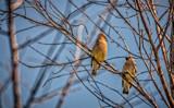 Cedar Waxwings by Eubeen, photography->birds gallery