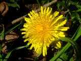 Proud Dandelion by Shewolfe, Photography->Flowers gallery