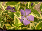 Purple Flower (Periwinkle) by StarLite, photography->flowers gallery