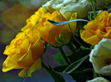 Friday Roses by biffobear, photography->flowers gallery