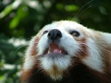Red Panda by heuers, Photography->Animals gallery