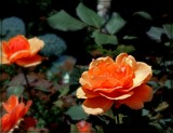 Sunday Roses by trixxie17, photography->flowers gallery