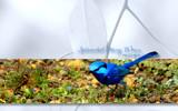 Splendid Wren (wide) by Samatar, Photography->Birds gallery