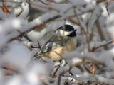 Black Capped Chickadee by Yenom, Photography->Birds gallery