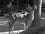 A Kudu Male by Ramad, contests->b/w challenge gallery