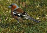 Cheeky by biffobear, Photography->Birds gallery