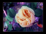 Princess Peach by jesouris, Photography->Flowers gallery