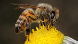 Honeybee #20 by ryzst, photography->insects/spiders gallery