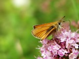 Essex Skipper (Thymelicus lineola) by stormdancer, Photography->Butterflies gallery