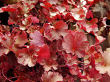 Plum Wine Coral Bells by trixxie17, photography->nature gallery