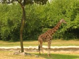 Giraffe by StarLite, Photography->Animals gallery