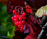 Berries by biffobear, photography->nature gallery