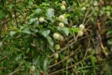 Button Bush by Jimbobedsel, photography->nature gallery
