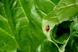 Garden 2 - The Lady Bug by Homtail, photography->insects/spiders gallery