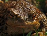 Ribbick by biffobear, Photography->Reptiles/amphibians gallery