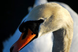 Farewell To A  Swan by braces, Photography->Birds gallery
