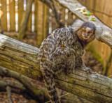 Marmoset by biffobear, photography->animals gallery