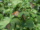 Monarchs by gerryp, Photography->Butterflies gallery