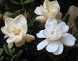 Mini Gardenia by trixxie17, photography->flowers gallery