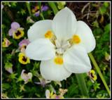 White Iris by ccmerino, photography->flowers gallery