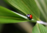 ladybird by JQ, Photography->Insects/Spiders gallery