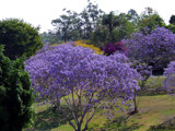 Mixed Together (Jacaranda Series #1) by J_272004, Photography->Flowers gallery