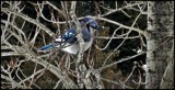 Blue Jay #2 by GIGIBL, photography->birds gallery