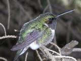 Humming Bird by VicManCool333, photography->birds gallery