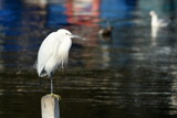 Egret by elektronist, photography->birds gallery