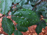 Raindrops Keep Fallin' by ladyred, Photography->Macro gallery