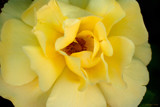 Delicate Rose by nmsmith, Photography->Flowers gallery