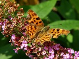 Comma butterfly by stormdancer, Photography->Butterflies gallery