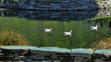 Three White Ducks by LynEve, photography->birds gallery