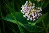 Critters and Milkweed by Pistos, photography->flowers gallery