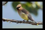 Cedar Waxwing by garrettparkinson, Photography->Birds gallery